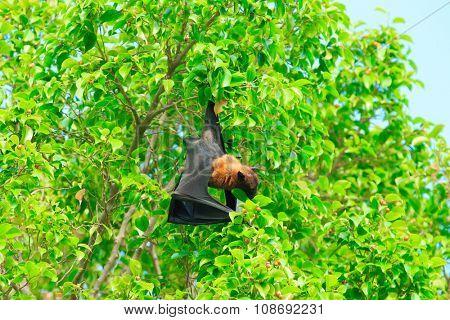 Bat hanging on a tree branch Malayan bat  stock photo