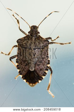 Looking down on a Brown marmorated Stink bug, Halyomorpha halys.  He is climbing on a pane of glass with the sky as a background and the sun illuminating his limbs and signature stripped antenna. stock photo