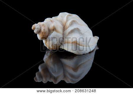 Decorative seashell on a black background . stock photo