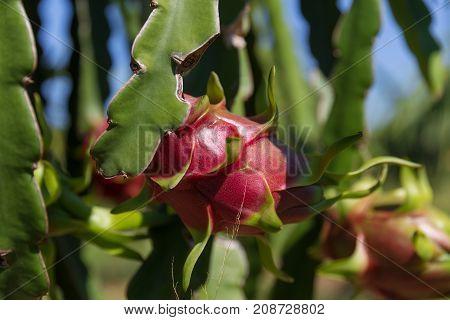 Dragon fruits or Pitaya Pitahaya plantation in Thailand Hylocercus undatus stock photo