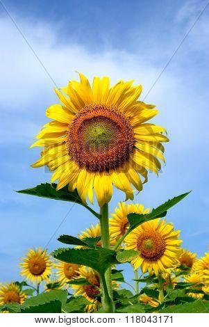 Sunflower-Lg Fridge Magnet Skin (size 36x65)
