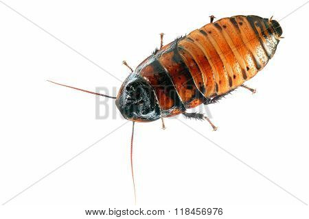 Madagascar hissing (Gromphadorhina portentosa) cockroach isolated over white stock photo