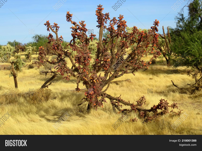 Cylindropuntia,acanthocarpa,arizona,black,bright,cacti,cactus,cholla,desert,desolate,fruit,landscape,mountain,open,outdoors,outstanding,prominent,range,sky,solitude,sonora,southwest,southwestern,stately,tree,vegetation,yucca