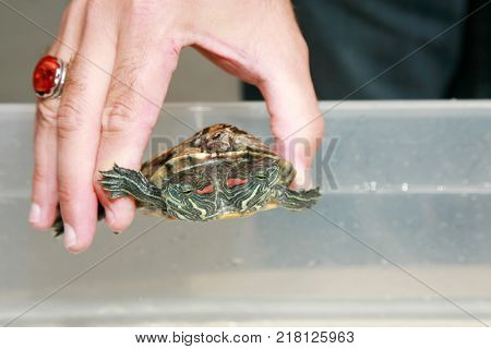 Close up of a hand holding a TWO HEADED Turtle.  stock photo