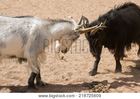 Two stubborn goats fighting and locking horns stock photo