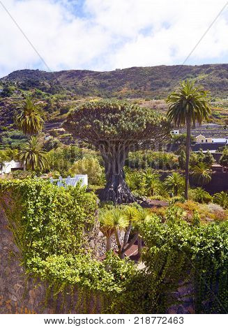 Famous millennial Dragon tree (Drago Milenario) growing in Icod de los Vinos,Tenerife,Canary Islands,Spain. stock photo