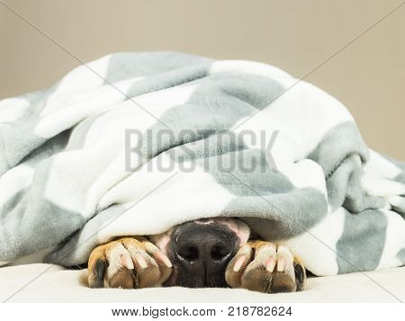 Nose and paws of lazy or sic pet dog sticking out of clean white throw blanket. Young terrier dog covered in plaid resting indoors in clean tidy minimalistic place