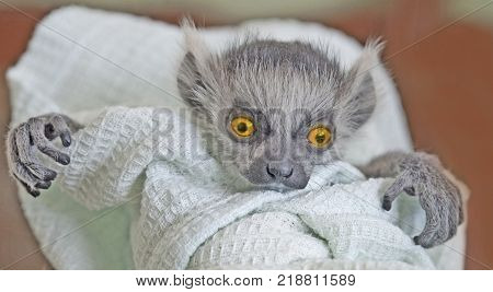 A frightening monster with big expressive orange eyes and crooked fingers is looking straight ahead. A baby ring-tailed lemur swaddled in a linen. stock photo