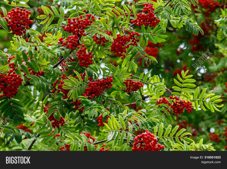 ash,aucuparia,autumn,background,beautiful,beauty,berry,botanical,botany,branch,bright,bunch,bush,closeup,color,currant,decoration,fall,flora,foliage,forest,fresh,fruit,garden,green,healthy,leaf,leaves,mixed,mountain,natural,nature,orange,organic,park,plant,red,ripe,rowan,rowan-berry,season,summer,sunny,tree,vitamin,wild