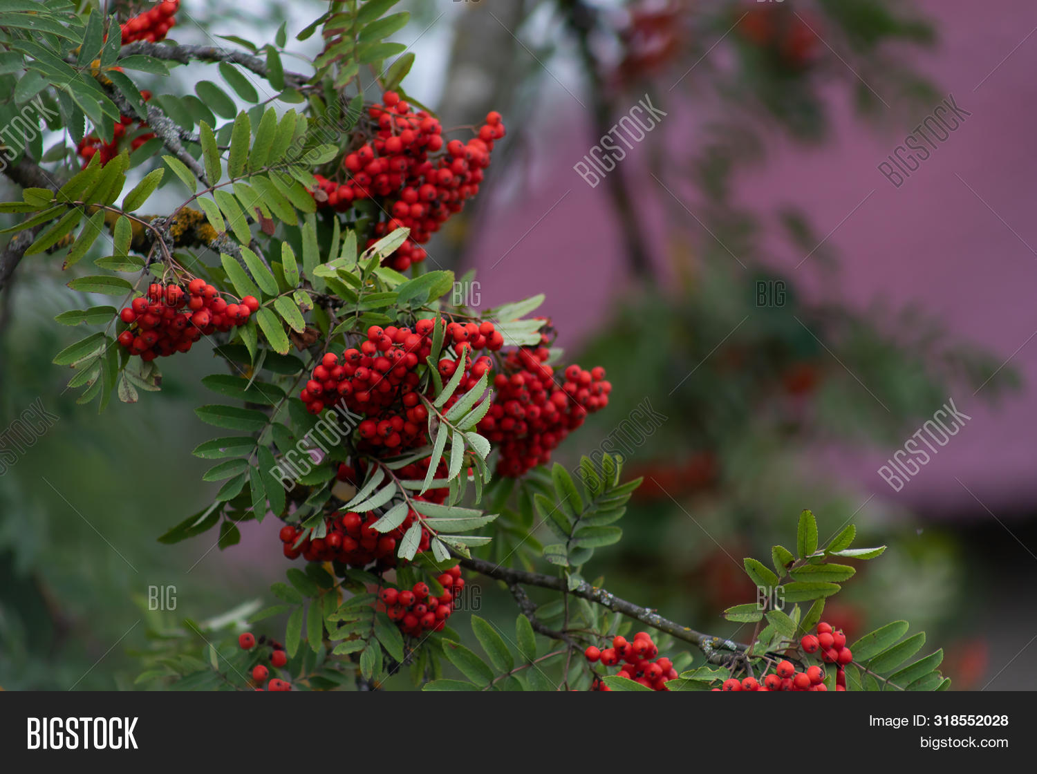 Autumn Season. Fall Harvest Concept. Autumn Rowan Berries On Branch. Amazing Benefits Of Rowan Berri