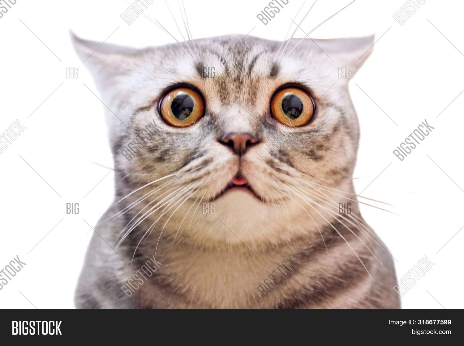 Young Crazy Surprised Cat Make Big Eyes Closeup. American Shorthair Surprised Cat Or Kitten Isolated