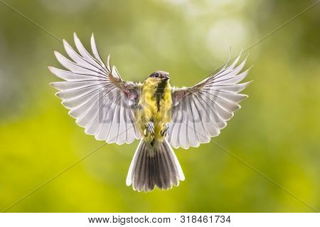 Bird in Flight. Great tit (Parus major) frontal view  just before landing with  stretched wings and spread feathers on green garden background stock photo