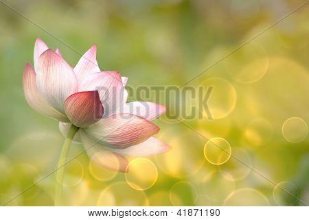 Fleurs de lotus dans le jardin sous le soleil.