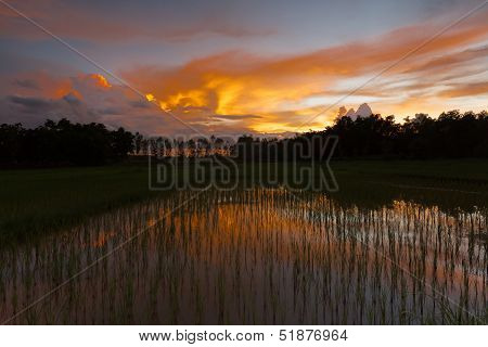 Rice paddy at dusk