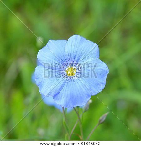Flax flower, Linum usitatissimum in natural habitat stock photo