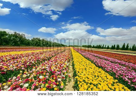 Spring flowering buttercups. Flower kibbutz on the border with the Gaza Strip. The magnificent flower carpet of colorful garden buttercups  stock photo