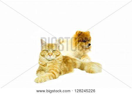 Cat Maine Coon with Pomeranian dog lying on white background stock photo