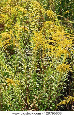 Solidago virgaurea L. flower green yellow background stock photo