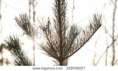 Winter christmas landscape, winter beauty. Bright rays of the setting sun, sunlight glare. Natural xmas decoration background Green spruce branch against forest at sunset. stock photo