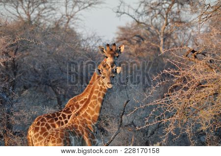 Two curious wild giraffes in bushes on sunset in African savannah. Etosha National Park in Namibia stock photo