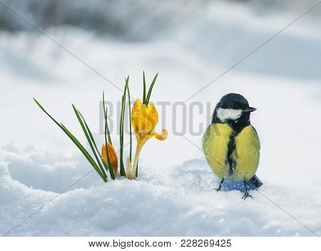 festive spring card with a tit goes through white shiny snow to yellow snowdrops making their way in March stock photo