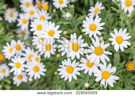 Flower In Garden At Sunny Summer Or Spring Day. Flower For Postcard Beauty Decoration And Agricultur