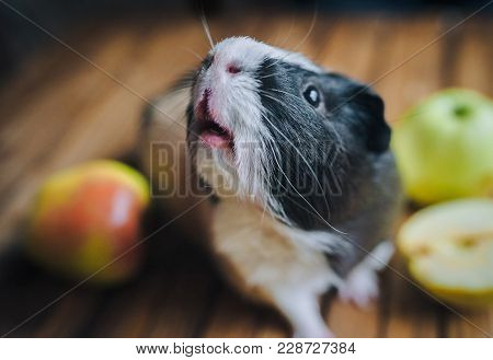 A hungry guinea pig has lifted its nose up and is waiting for food. Feeding guinea pigs. Apples on a wooden background. stock photo