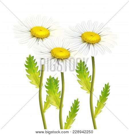 Realistic daisy chamomile flower. Vector meadow foeld plant, summer spring symbol. Nature decoration floral element for design. Illustraiton on isolated white background stock photo