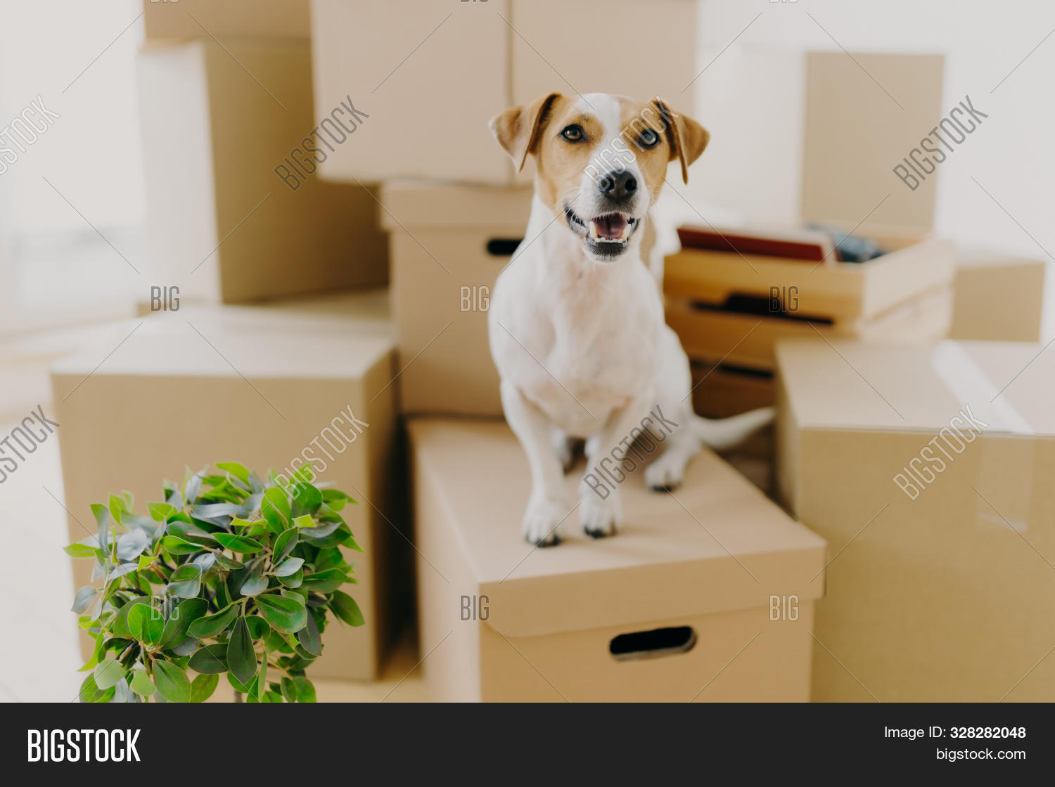 abode,alone,animal,apartment,belongings,box,breed,brown,cardboard,carton,dog,domestic,dwelling,empty,estate,flat,flower,home,horizontal,image,indoor,isolated,lamp,livingroom,lonely,looking,moving,new,one,package,packing,parcels,pedigree,pet,pile,plant,posing,property,puppy,relocation,repairing,room,russel,shot,sitting,small,spacious,stack,terrier,white