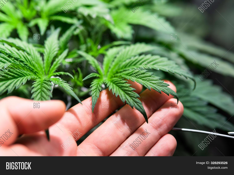 agriculture,background,bud,cannabis,closeup,culture,drug,farm,flower,garden,green,grow,growing,growth,health,hemp,herb,leaf,legal,marijuana,medical,medicinal,medicine,natural,nature,plant,pot,sativa,thc,weed