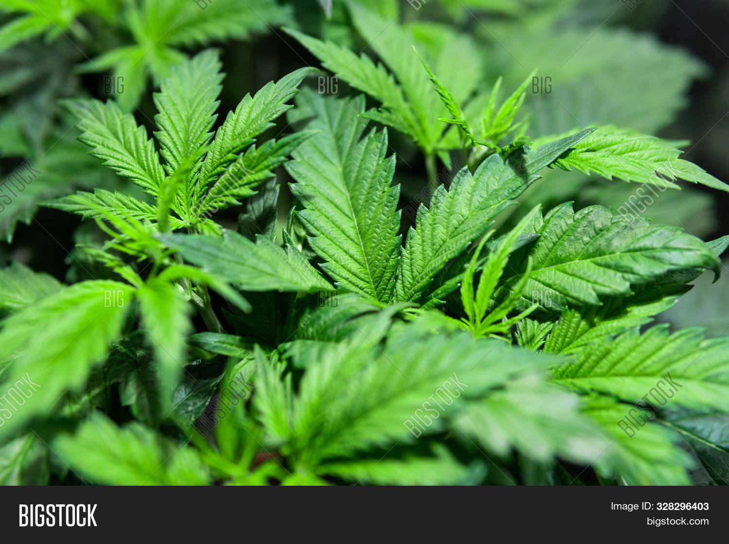 The Concept Of Growing Marijuana. Weed For Recreational Purposes. Hydroponic Method Of Growing Canna