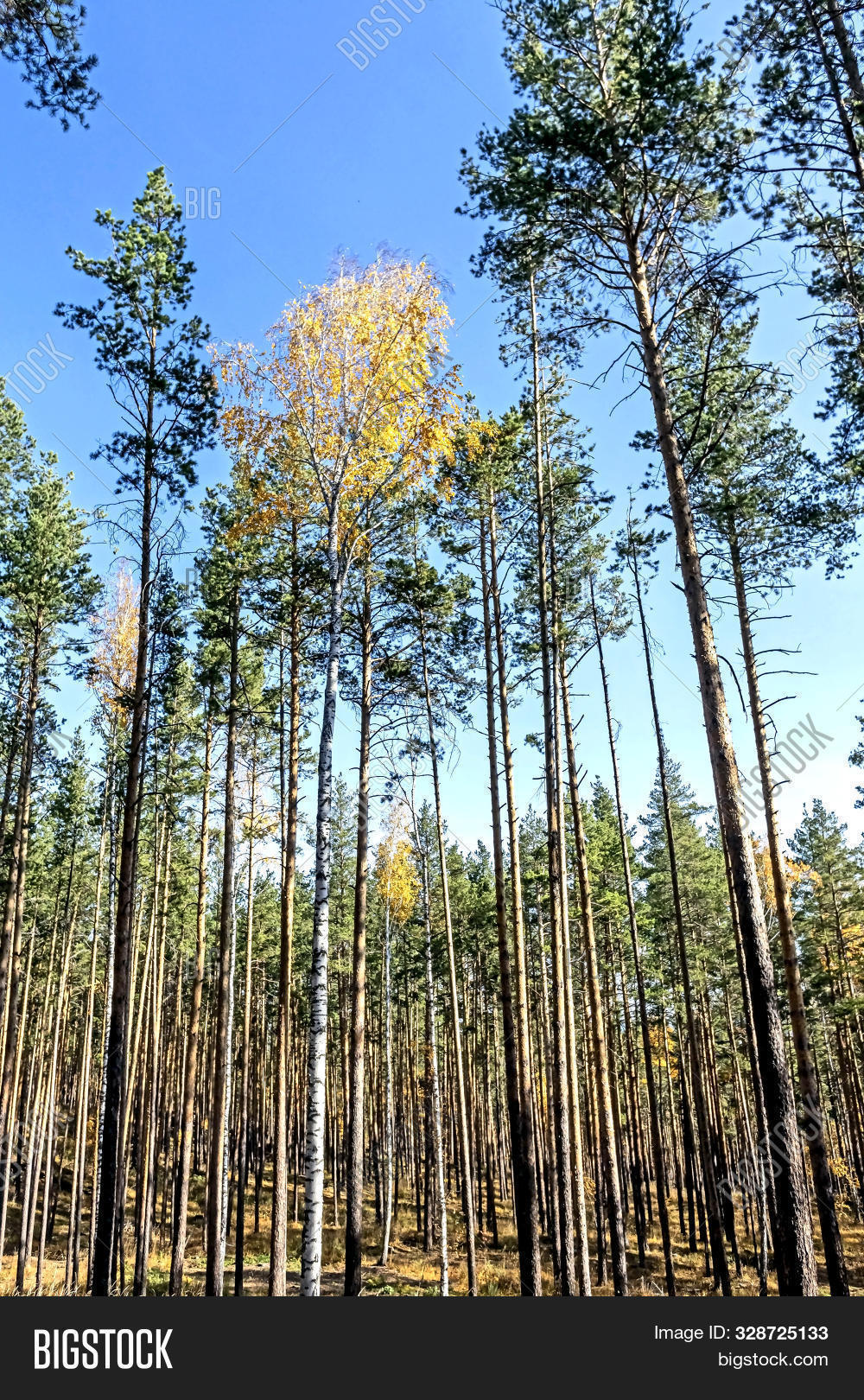 among,autumn,birch,blue,bright,circle,colorful,environment,fall,foliage,forest,green,high,hike,leaves,long,moss,mountains,natural,nature,october,orange,outdoors,pine,ridge,rock,russia,season,sky,slender,stone,sunny,taiga,tree,woods,yellow