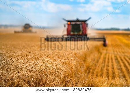 Corn in field closeup. Red grain harvesting combine in a sunny day in a blurred background . Yellow field with grain. Agricultural technic works in field. stock photo
