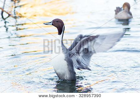 A Northern Pintail Duck flaps and adjusts its wings early in the morning on a pond in central Tokyo, Japan. stock photo