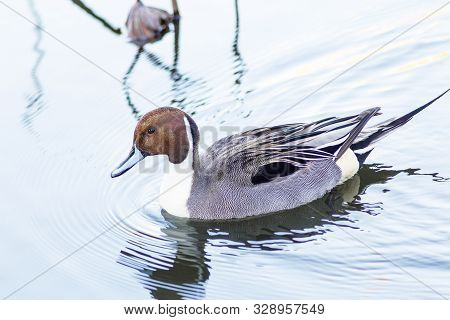 An adult male Northern Pintail Duck swims on an icy lake at dawn in Tokyo, Japan. stock photo