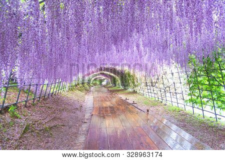 The great wisteria flower arch. Wisteria Tunnel at Kawachi Fuji Garden (Fukuoka, Japan) stock photo