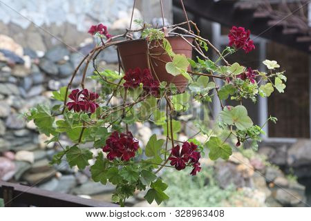 Geraniums in hanging flowerpots in the country stock photo