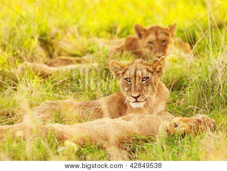 Photo d'un lionceaux afrique, safari afrique du sud, le parc national kruger se réservent, safari de la faune,