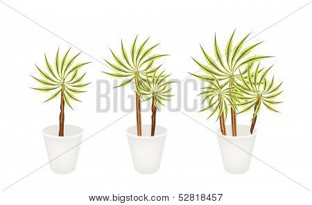 Dracaena Plants or Yucca Trees in Three Flowerpot for Garden Decoration Isolated on A White Background.. stock photo