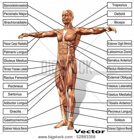Vector 3D male or human anatomy, a man with muscles and text isolated on white background  stock photo