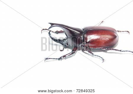 the Xylotrupes gideon on a white background is isolated image stock photo