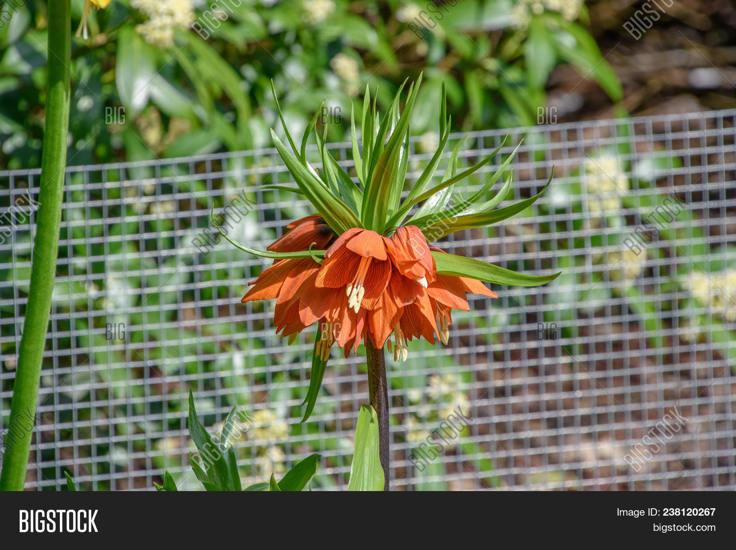 Orange Crown Imperial Lily Flower Fritillaria Imperialis Lutea