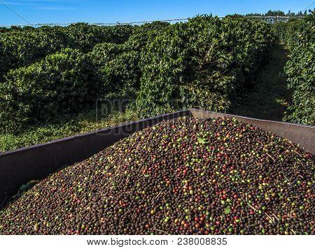 Bahia, Brazil, June, 17, 2004 Autumn harvester of coffee cherries on a coffee plantation in Luis Eduardo Magalhaes, western to Bahia state, Brazil stock photo