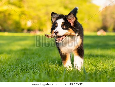 Happy Aussie dog with stick runs on meadow with green grass in summer or spring. Beautiful Australia