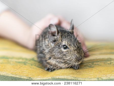 Young girl caress small animal chilean common degu squirrel. Close-up portrait of the cute pet sitting on pillow. stock photo