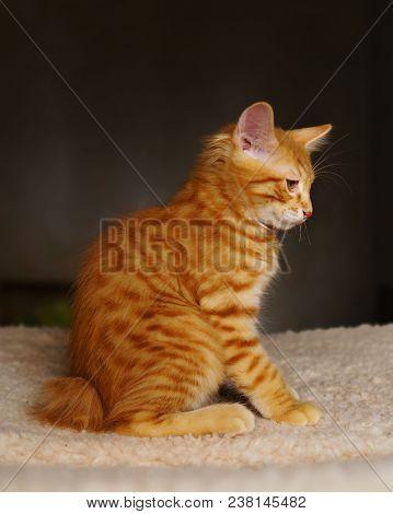 Lovely red thoroughbred kitten. Breed Kurilian Bobtail. Hypoallergenic breed of cats stock photo