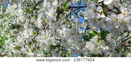 Blossom bloom of cherry or sakura. White flowers of blooming tree branches on sky background at spring. Nature seasonal tender zen landscape. Horizontal header stock photo