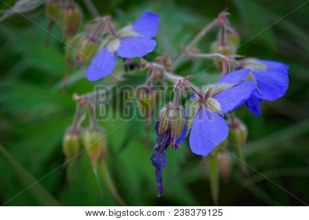 Purple flower of Geranium pratense in field, stylized for painting. stock photo