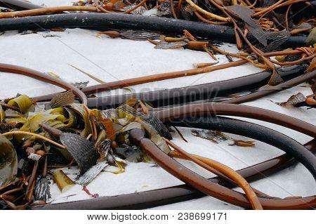 Bull whip kelp on white sand, ocean seaweed stock photo