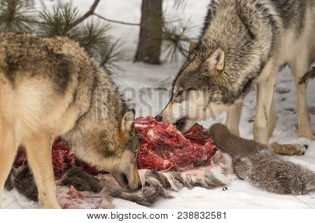 Grey Wolves (Canis lupus) Munch and Sniff White-Tail Deer Carcass - captive animals stock photo
